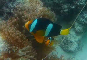 Maldives_ClownFish2